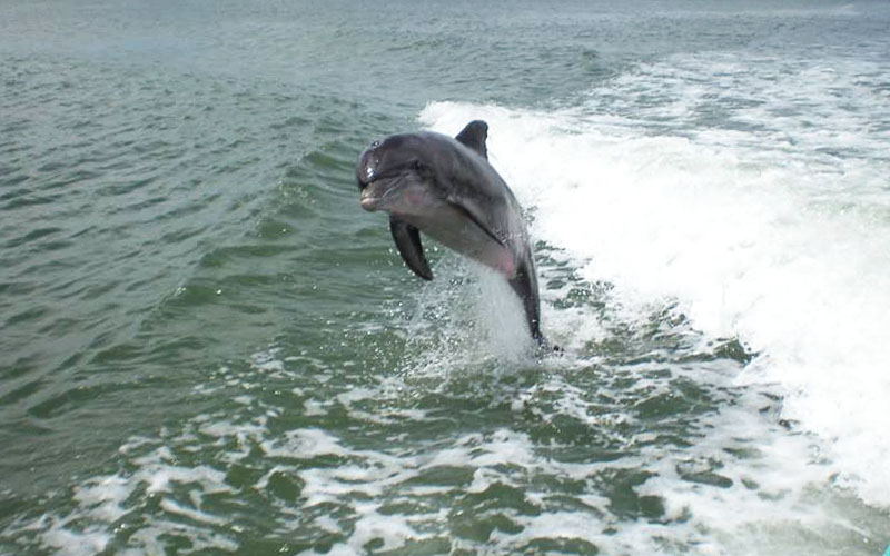 Jumping dolphin following boat