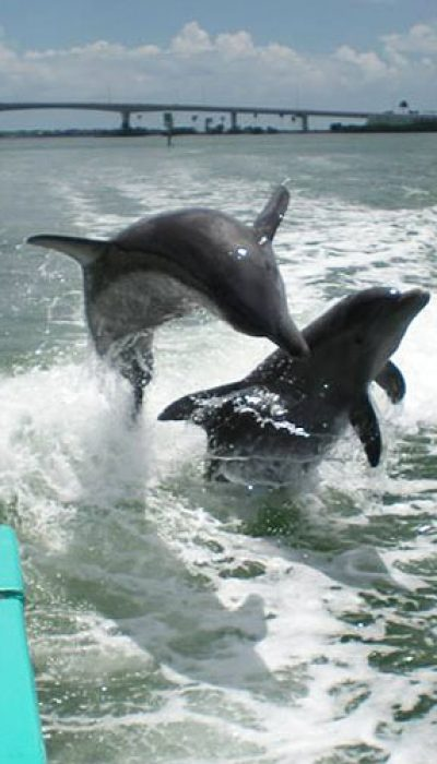 two dolphins following in the wake